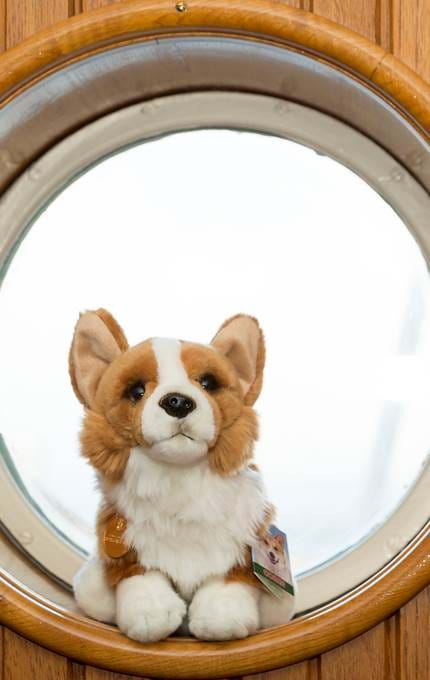 One of the treasure hunt corgis.