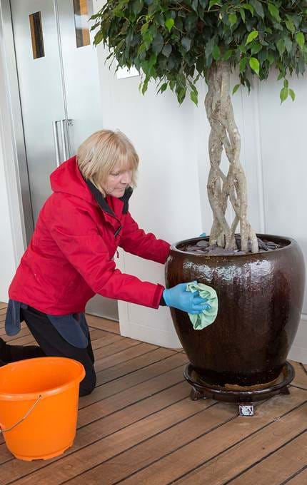 Housekeeper polishes potted plant.