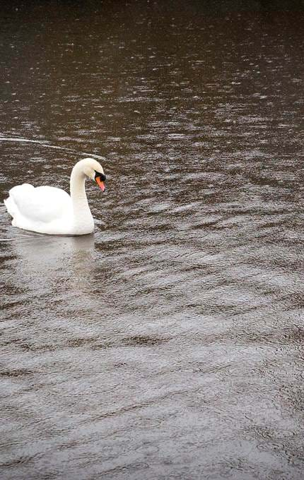 Swan swims past Britannia in the Port of Leith.